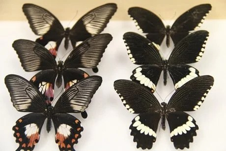 Supergene allows butterflies to mimic toxic relatives