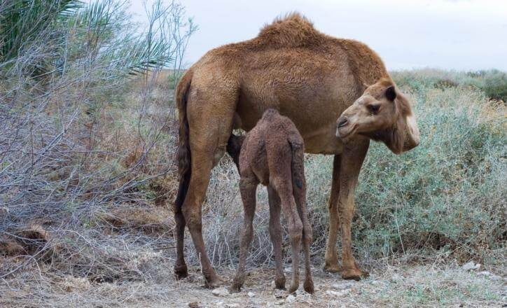 MERS outbreaks grow; Malaysian case had camel link