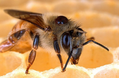 Honeybee memories: Another piece of the Alzheimer's puzzle?