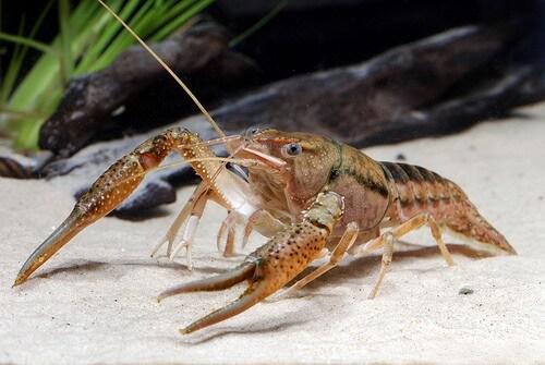 Trashy Life: Crayfish Turn Rubbish into a Home