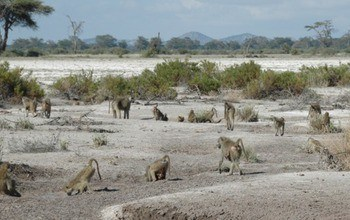 Born during a drought: Bad news for baboons