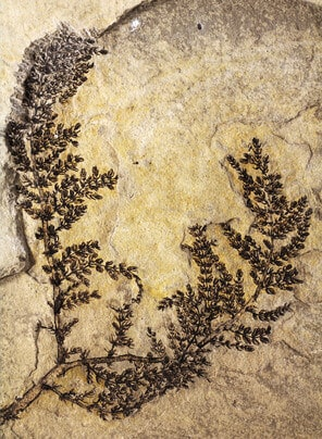 Paleobotanist identifies what could be the mythical 'first flower'