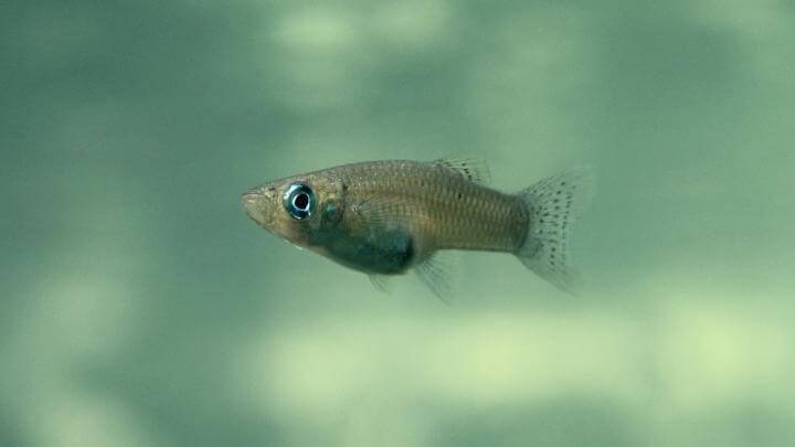 Female fish genitalia evolve in response to predators, interbreeding