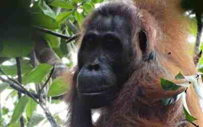 Voice control in orangutan gives clues to early human speech