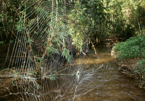 Scientists discover oral sexual encounters in spiders