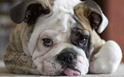 English Bulldog's Gene Pool May Be Too Small to Heal the Breed