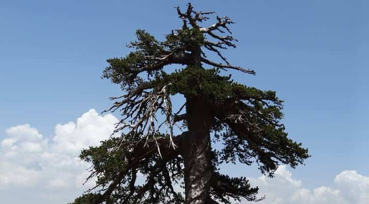 Meet 'Adonis,' Europe's Oldest Known Living Tree