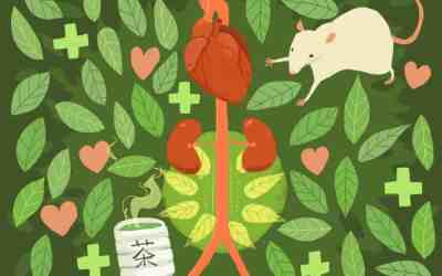 Drinking green tea to prevent artery explosion