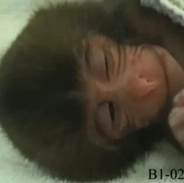 Baby monkey smiles point to origin of laughter