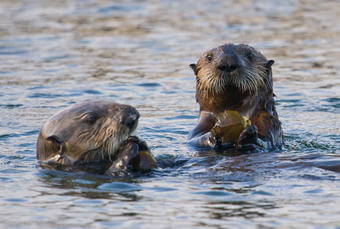 Sea Otter Survey Encouraging, but Comes Up Short of the 'Perfect Story'