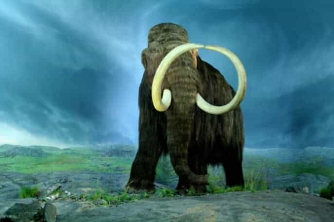 Can the woolly mammoth be brought back from the dead?