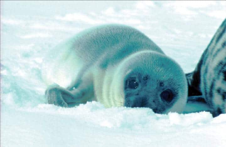 How hooded seals are transferring contaminants to their pups