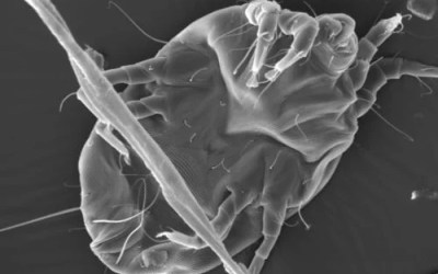 Dust Mite Allergens Share Rare Combo of Qualities
