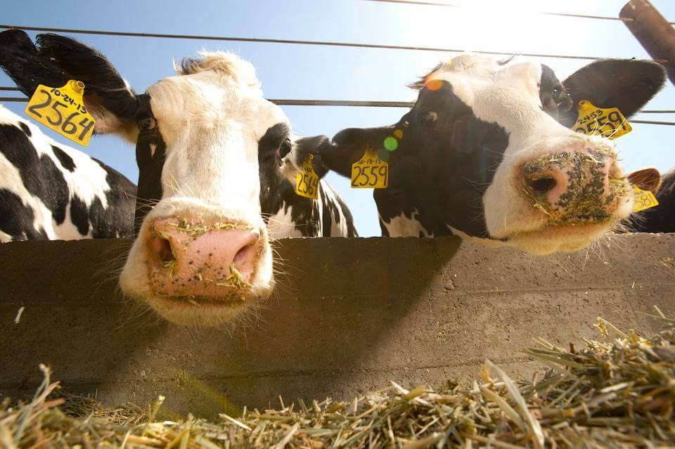 How a Genetic Mutation From 1 Bull Caused the Loss of Half a Million Calves Worldwide