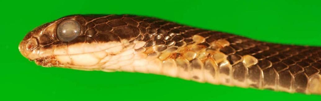 Fungal Disease that Threatens Snakes is Widespread in Eastern U.S.