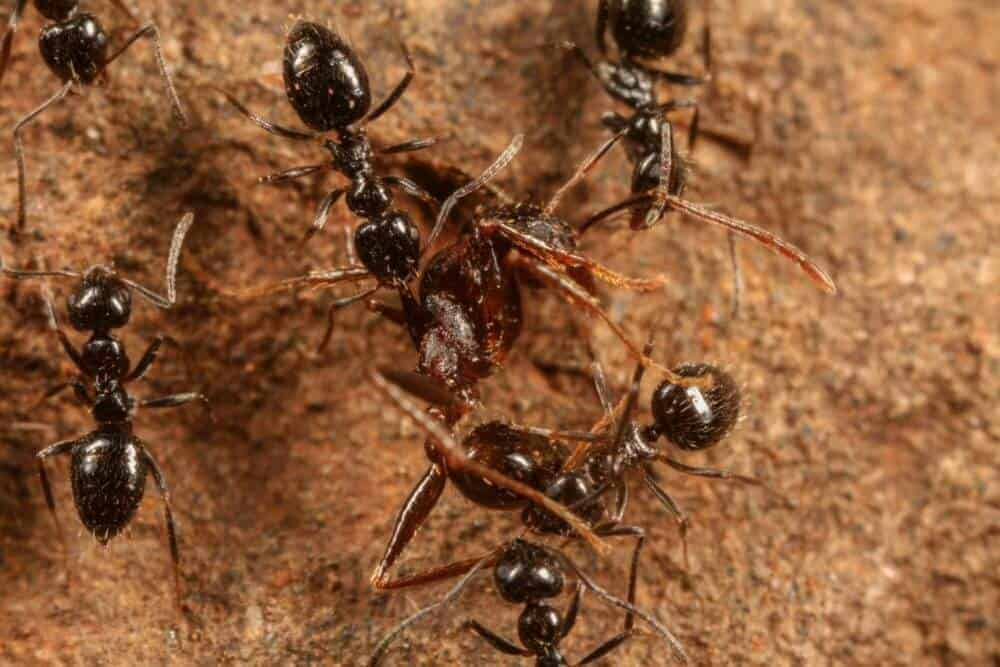new-dominant-ant-species-discovered-in-ethiopia-shows-potential-for-global-invasion