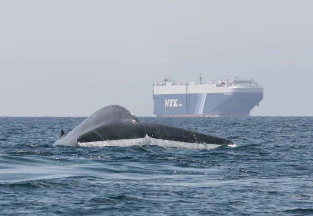 Thar she blows: Tool helps ships avoid blue whale hotspots