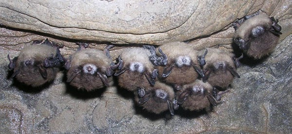Fungus-infecting virus could help track spread of white-nose syndrome in bats
