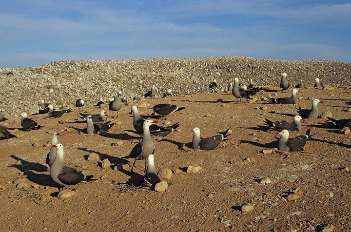 Mitochondrial DNA shows past climate change effects on gulls