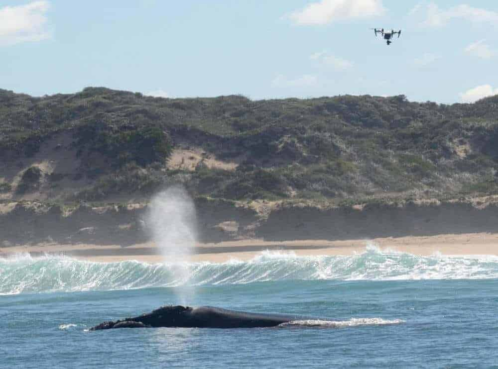 Are drones disturbing marine mammals?