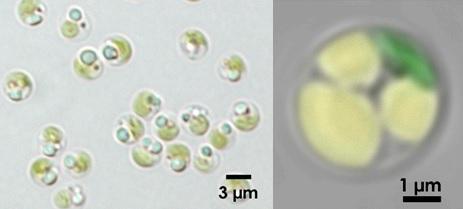 Biofuel produced by microalgae