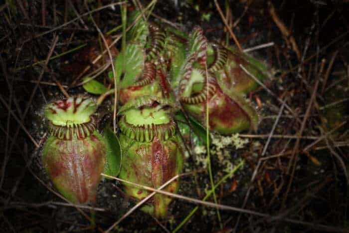 How carnivorous plants acquired a taste for meat