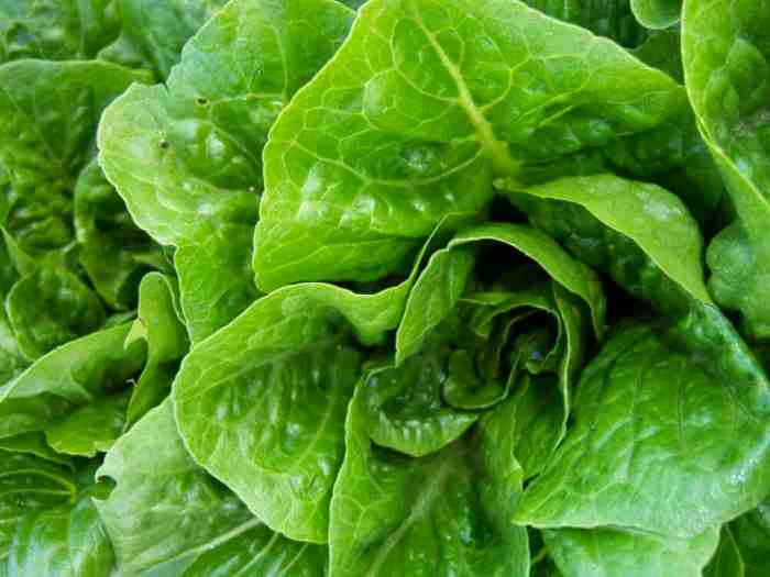 Oh crap: Listeria bacteria can hide inside tissue of lettuce