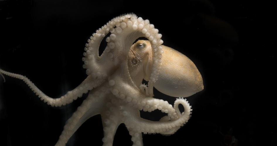 'Smart' cephalopods adapt by editing genes, but sacrifice ability to evolve