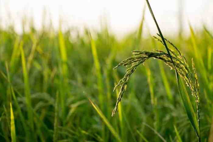 Scientists Engineer Disease-Resistant Rice Without Sacrificing Yield
