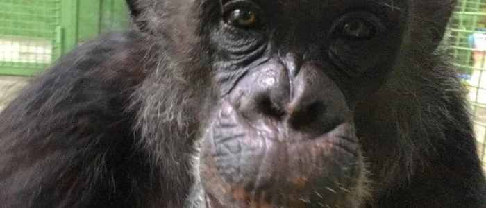 It's time to stop monkeying around with harmful primate experiments