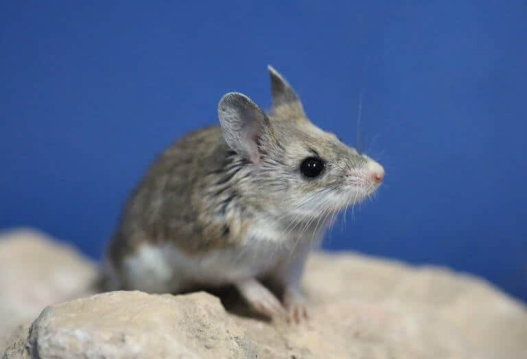 A wolf's howl in miniature: Researchers discover mice speak similarly to humans