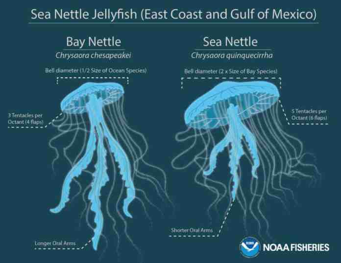 Scientists discover common sea nettle jellyfish is actually two distinct species