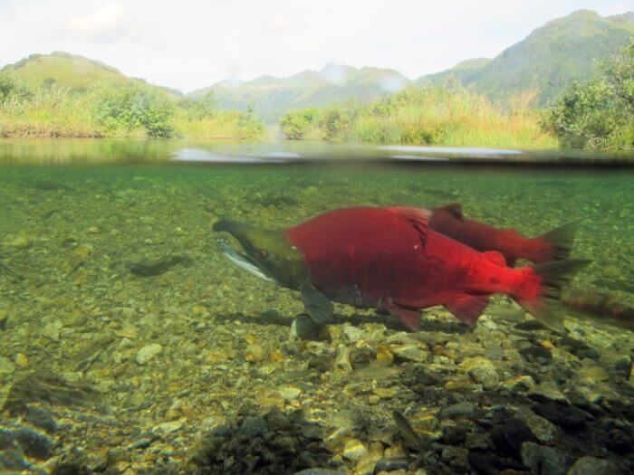 'Sex that moves mountains': Spawning salmon play significant role in shaping landscapes