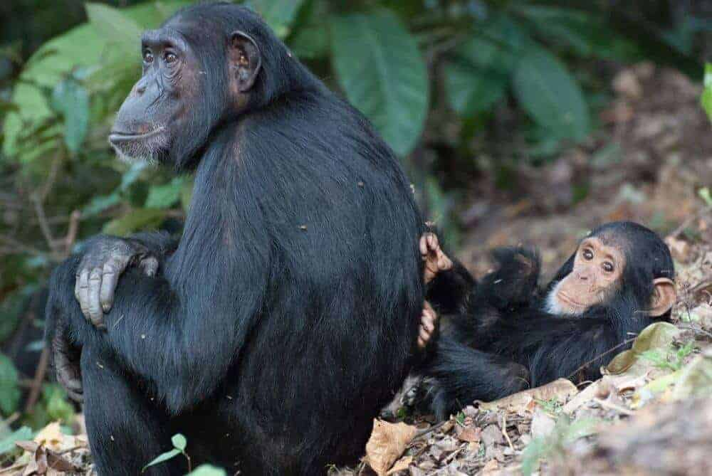 Can chimpanzee vocalizations reveal the origins of human language?