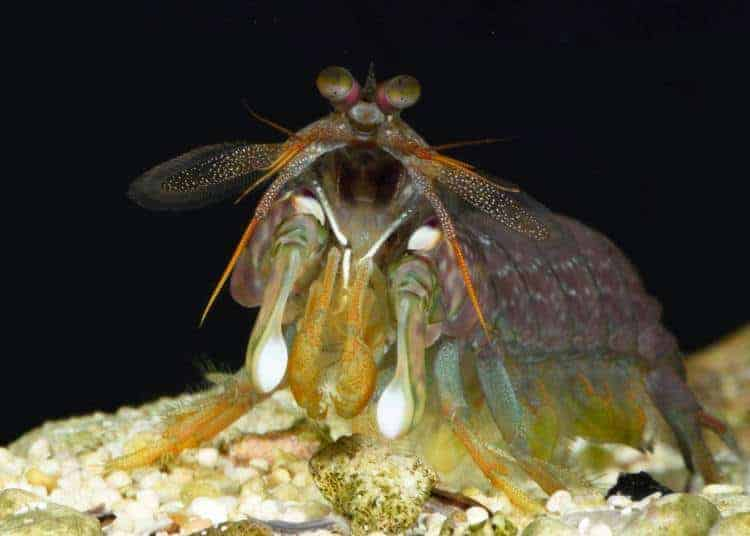 Mantis Shrimp Size Each Other Up Before Giving Up a Fight