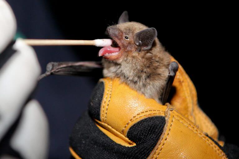 Researchers use genomics to determine origins of deadly white-nose syndrome