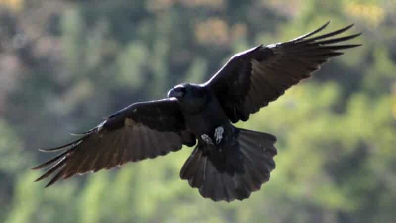 Two species of ravens nevermore? New research finds evidence of 'speciation reversal'