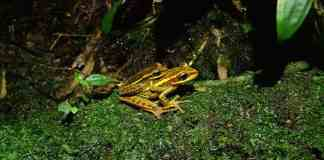 Amphibians face many challenges in Brazilian rain forest
