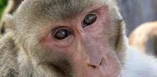 Monkey studies reveal possible origin of human speech