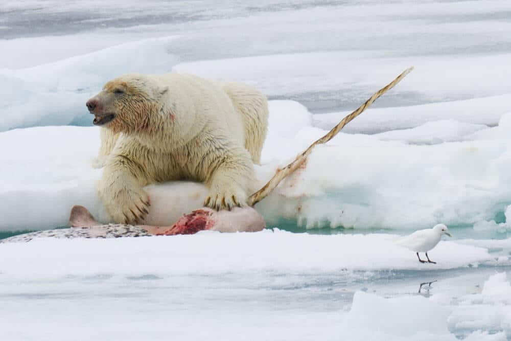 Polar bears gorged on whale carcasses to survive past warm periods, but it won't work this time