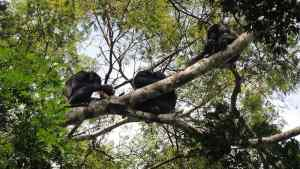 Bonobos and chimps both love meat