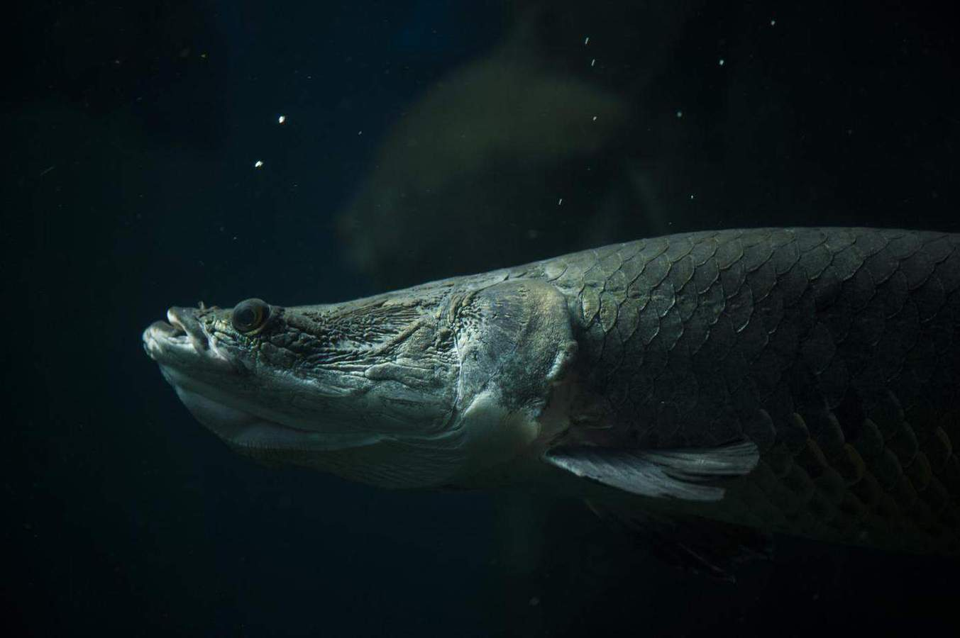 Researchers ID genes linked to sex differentiation in giant Amazon fish
