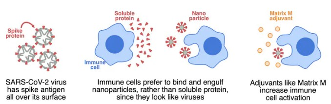 The spike protein is formed into nanoparticles to attract immune cells, and Matrix-M is added as an adjuvant to further activate immune cells.