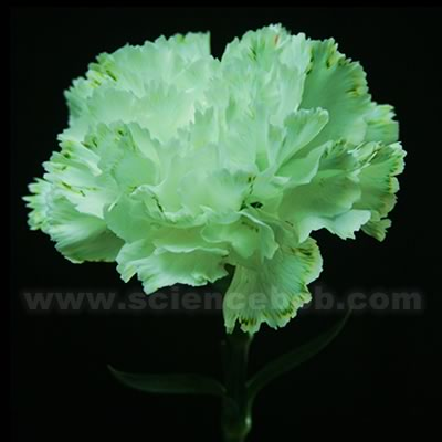 colored_flower_green