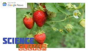 https://scienceclever.com/the-power-to-fight-cancer-is-the-strawberry-fruit/