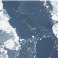 Bowhead Whale Mysteries Uncovered By Genetic Study Using Modern And Ancient DNA