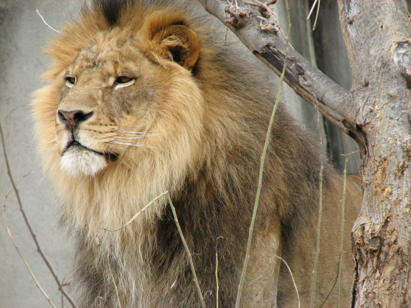 Lions Rapidly Approaching Extinction, Population Fell By 2/3 In The Last 50 Years And Lost 3/4 Of Their Previous Range