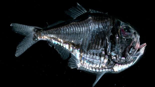 Hatchet fish