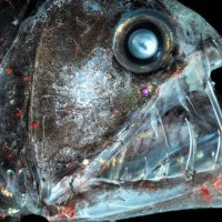 Deep Sea Fish -- Black Dragonfish, Long-Nosed Chimaera, Blobfish, Hatchet Fish, Giant Oarfish, Barreleye Fish, Sloane's Viperfish, Etc