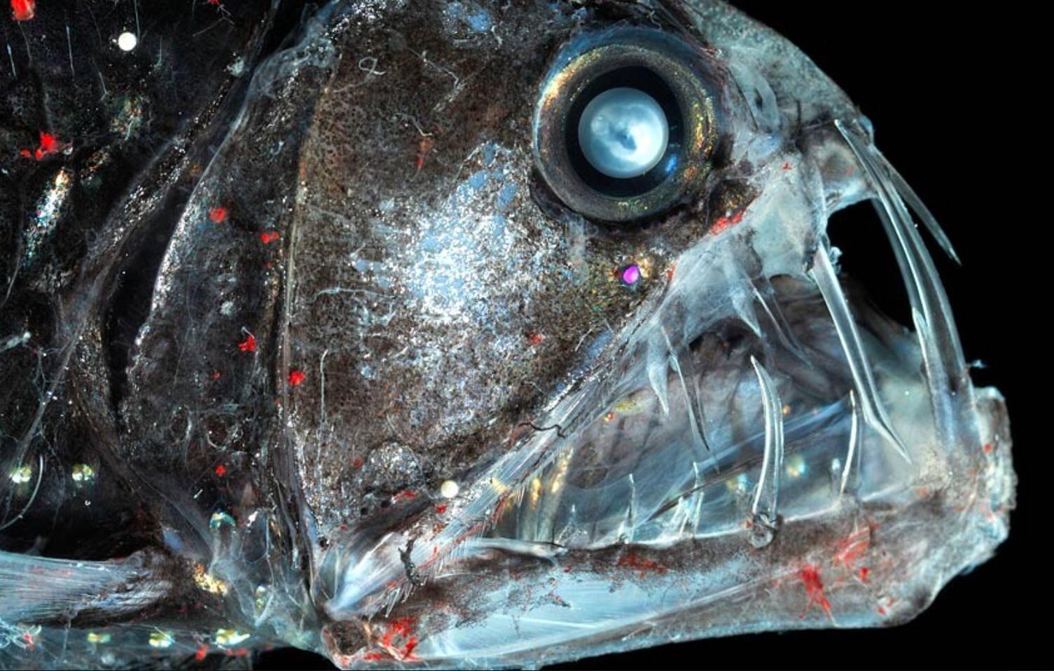 deep sea fish black dragonfish long nosed chimaera blobfish